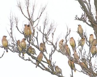birds cedar waxwings 20x30