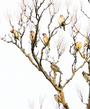 birds cedar waxwings pt (1)