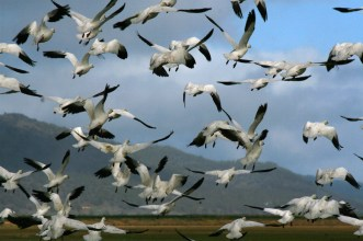 Snow geese flying in Klamath Basin Oregon during migration