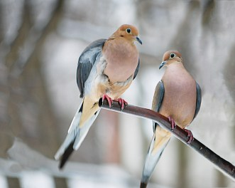 peaceful, serene image of Two Mourning Dove Birds perched amidst winter abstract scenery.