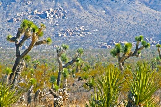 joshua tree yucca boulders