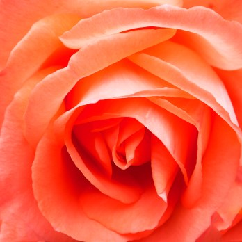 Images of Flowers: Salmon Rose
