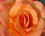 Images of Flowers: Sarah's Rose