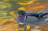 wood duck (1)