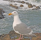 yachats gull on post