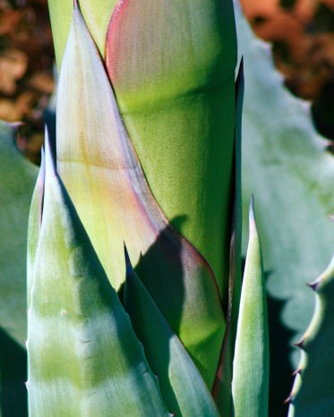 agave close up arizona