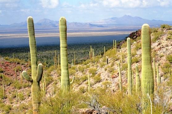 az sajuaro cactus and valley