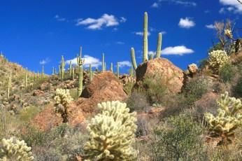 az sajuaro sky cholla cactus LS 2