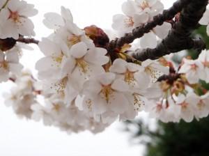 嵐山・早咲きの桜