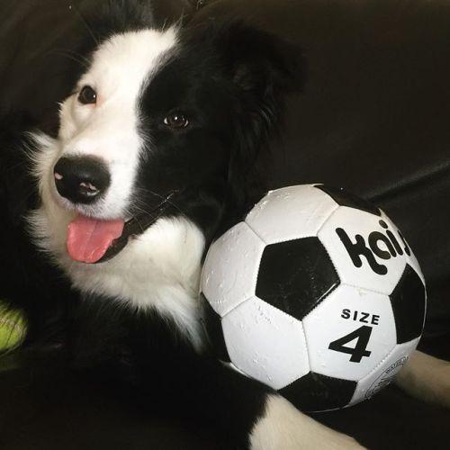 シロクロナカマ。#ボール好きすぎ