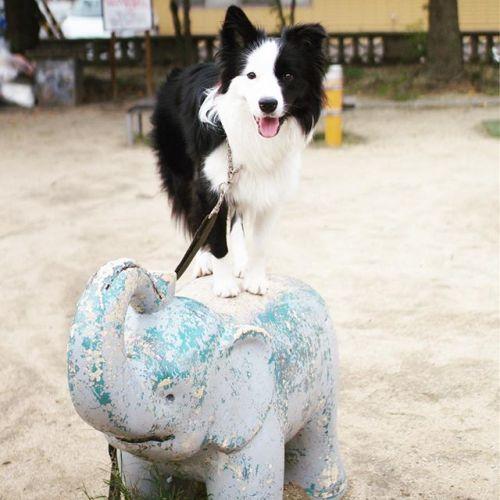 今日も象に乗ったぞう!そーすけとベッキーにも会ったよ!そーすけは大きくなってパクチーと対等にワンプロできるようになって来たね。#象乗り #芝犬 #フレブル#897 #ผักชี #phakchi