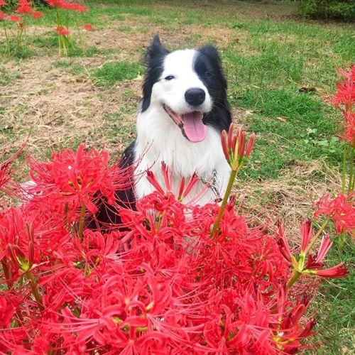 曼珠沙華がの花が咲いてたよ。赤と白。この花を見ると子供の頃歩いた畦道を思い出す。#曼珠沙華#彼岸花