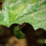 Fourmis coupe-feuille, Sarapiqui, Costa Rica