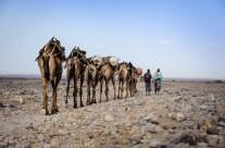 Caravane de sel, Dépression du Danakil, Éthiopie