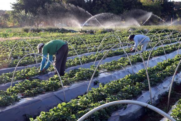 Brazlândia (DF) - Em setembro, diversas cidades do país promovem a festa do morango. Com tecnologia, agricultores conseguem colher a fruta o ano todo (Valter Campanato/Agência Brasil)