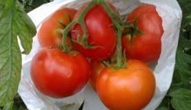 produção de tomates ecológicos