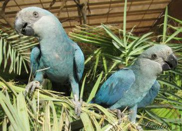 ararinha azul - Icmbio - todos os direitos reservados