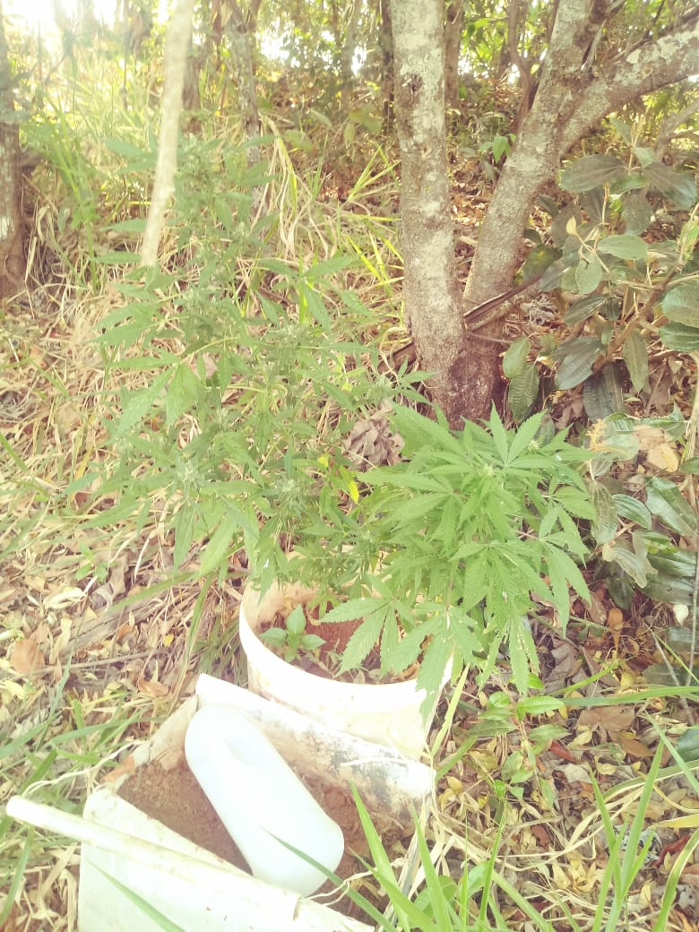 Pés de maconha são encontrados perto de lagoa em Coromandel