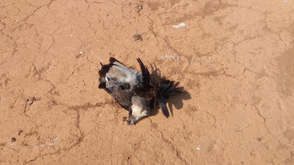 Várias aves são encontradas mortas em Rio Paranaíba-MG (1)