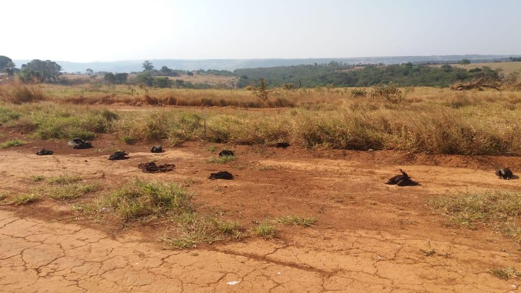 Várias aves são encontradas mortas em Rio Paranaíba-MG (2)