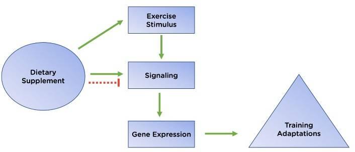 Möglicher Impact von Nahrungsergänzungsmitteln auf die Anpassung an das (Ausdauer-)Training. Grüne durchgezogene Linie: positive Wirkung; rote gestrichelte Linie: hemmende Wirkung.