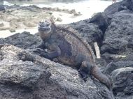I love the marine iguanas! They are smiling all the time.