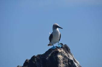Blue Footed Booby!