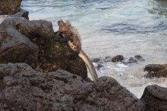 This was a marine iguana.