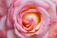 Secret_Rose,_7.14.15