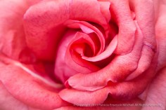Cinnamon_Dolce_Rose_(I),_8.4.15