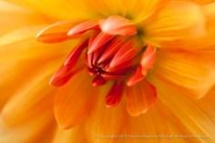 Yellow_&_Orange_Dahlia,_7.5.15