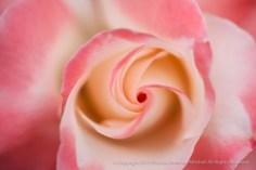Crescendo Rose (I), 8.4.15
