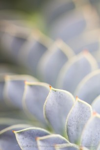 Unsharp-_Euphorbia_myrsinites, 2.19.15
