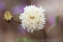 White,_High_Desert_Flower,_4.2.14