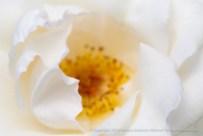White_Rose,_7.13.15
