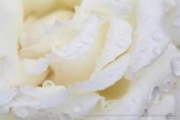 White_Rose_With_Raindrops_(I),_10.15.15