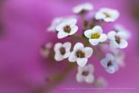 White Sweet Alyssum, 10.5.15