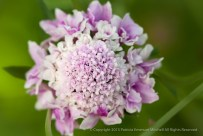 Scabiosa_Like_A_Bridal_Bouquet,_6.9.15