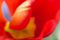 Unsharp-_Bright_Tulip,_3.3.15