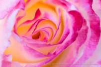 Pink, White & Yellow Rose, 4.25.13