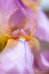 Lavender & Yellow Iris (I), 2.5.15