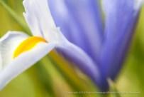 Iris on Green, 2.17.15