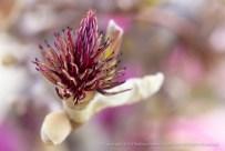 Magnolia Stamen & Pistils, 2.3.14