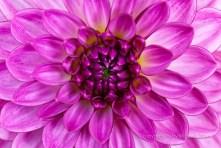 Dahlia-_Pink,_White_and_Yellow,_7.7.14
