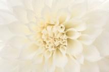 White Dahlia (I), 6.6.16