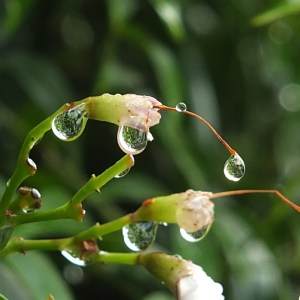 Raindrops on Bower Vine