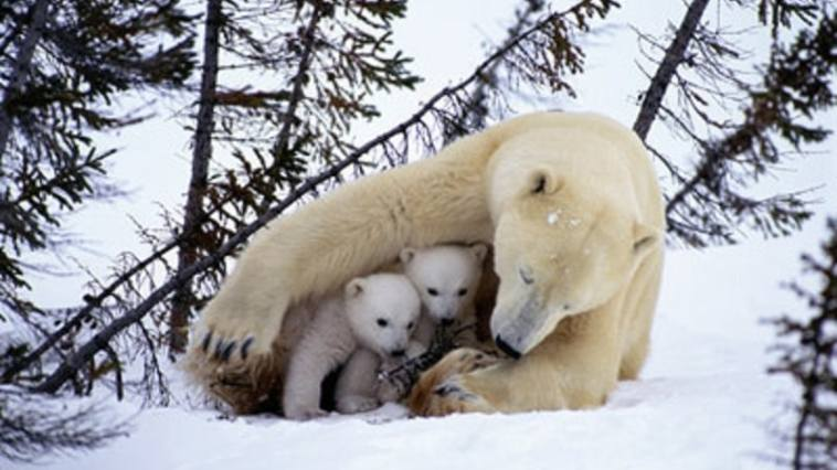polar bear 5 - Demonstre amor!!!