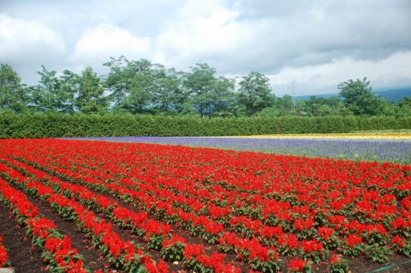 Flowers in Farm Tomita, Furano