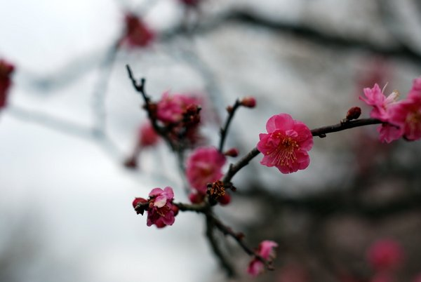 Plum blossoms in Japan (photo by Patrick Colgan, 2016)