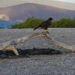 hawk-on-wood-web